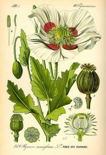【罂粟的结构手绘图 图片出处:维基百科】